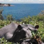 water_hyacinth_chokes_lake_kariba