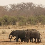A herd of elephants walk at a watering hole in Hwange National Park in Zimbabwe, September 29, 2015. REUTERS/Philimon Bulawayo