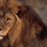 Close view of an African lion (Panthera leo).
