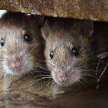 rats1