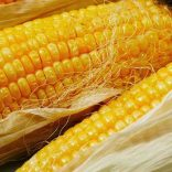 maize farming and corn production in agricultural farming business and plantaton farming