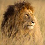 Large male lion in high grass and warm evening light - Masai Mara, Kenya