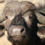 buffllo