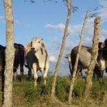 Mozambique.cattle