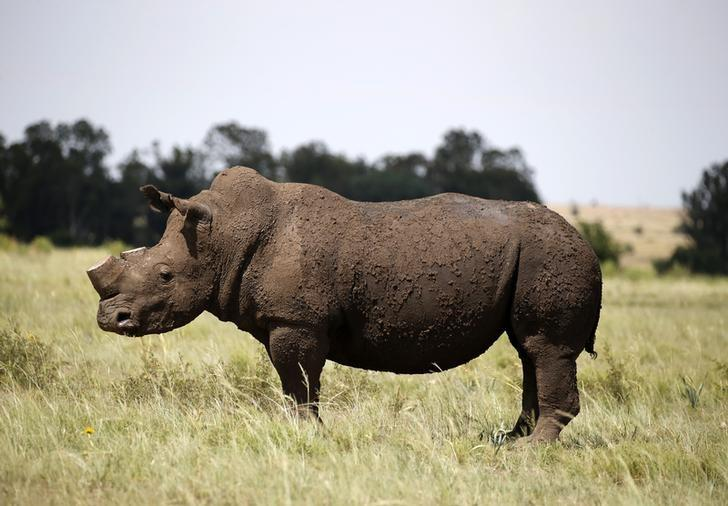 A black rhino is seen after it was dehorned in an effort to deter the poaching of one of the world's endangered species, at a farm outside Klerksdorp, in the north west province, South Africa, February 24, 2016.REUTERS/Siphiwe Sibeko