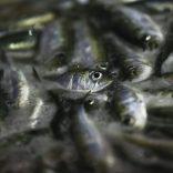 fish.lusa
