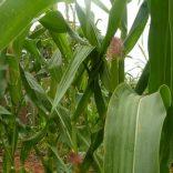 prosavana.agriculture.dw