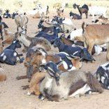 goats.tete.domingo