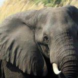 elephant.p