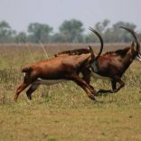 gorongosa.file.antelope.lusa