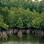 mangrove.rm