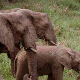 elephants,voa