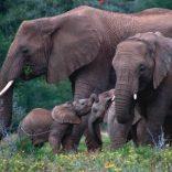 elephantss