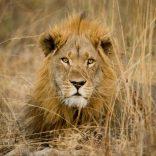 lion.lusa