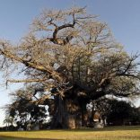 One-by-one-Africas-oldest-baobab-trees-are-dying