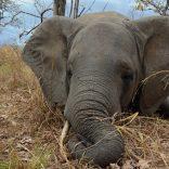 Elephantniassa1.file_.alaisternelson.wcs_