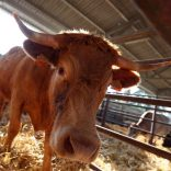 Fmd.cattle.moz_.lusa_