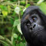 Gorillamountainsfile