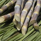 Mhoje_sugarcane_photo_jpg