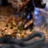 Snakeaf