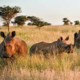 White_rhino_family_Southern_Africa_by_Denise_Ackerman_2016_uses_1_2_3-e1549889192924