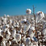 Cottontvm