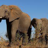 Elephantsbotswana